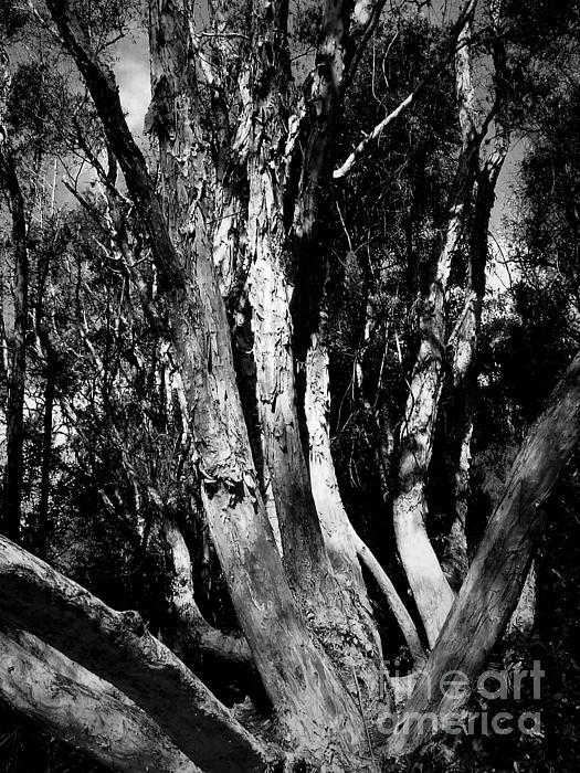 Melaleuca Tree Print by David Weeks