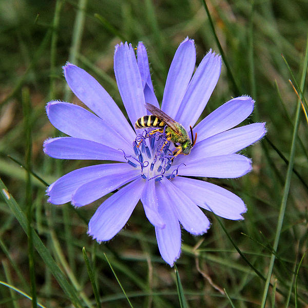 Doris Potter - Metallic green Sweat Bee on Chicory