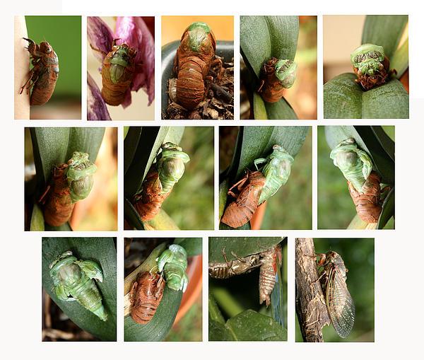 Metamorphosis Of A Cicada Print by Emanuel Tanjala