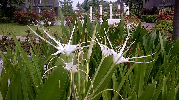 SAIGON De Manila  - Meus Ortus Flora