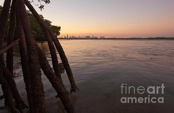Miami And Mangroves Print by Matt Tilghman