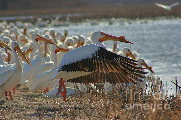 Migrating Pelicans  Print by Shari Morehead