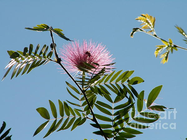 Mimosa Flower Print by Theresa Willingham