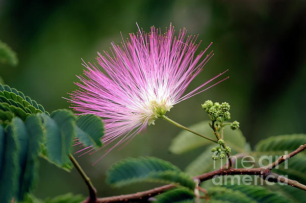 Mimosa1 Print by Steven Foster
