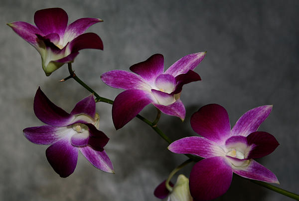 Karen Harrison - Miniature Orchids