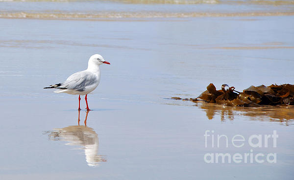 Mirrored Seagull Print by Kaye Menner