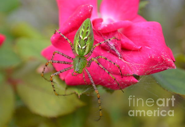 Kathy Gibbons - Miss Green Lynx Spider