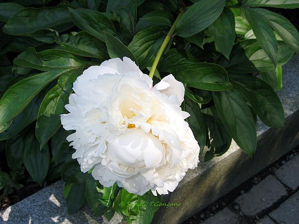 Sonali Gangane - Miss White Blossom