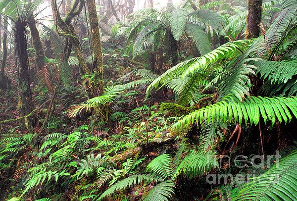 Misty Rainforest El Yunque Print by Thomas R Fletcher