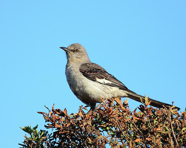 Mockingbird . 7682 Print by Wingsdomain Art and Photography