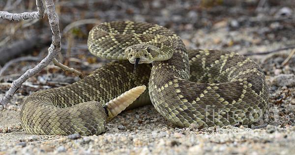 Bob Christopher - Mojave Green Rattlesnake