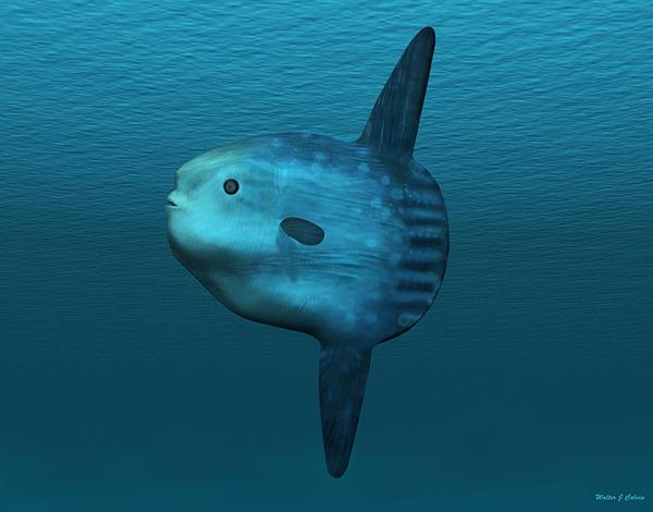 Walter Colvin - Mola Mola Ocean Sunfish