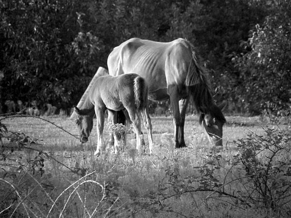 Mom And Foal Grazing At Sunset Print by Kim Galluzzo Wozniak