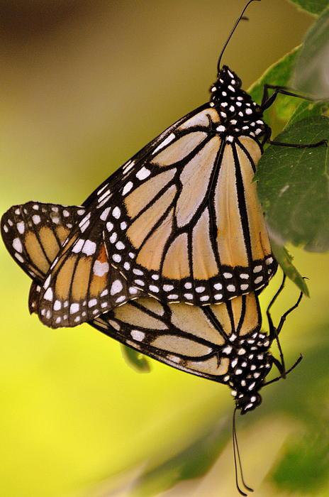 Monarch Bliss Print by Marty Koch