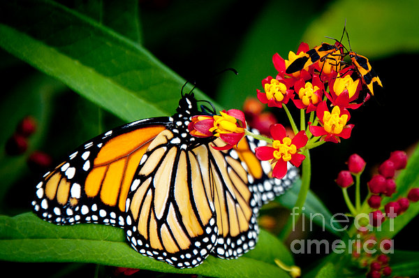 Andee Design - Monarch Butterfly at lunch with 2 Box Elder Bugs
