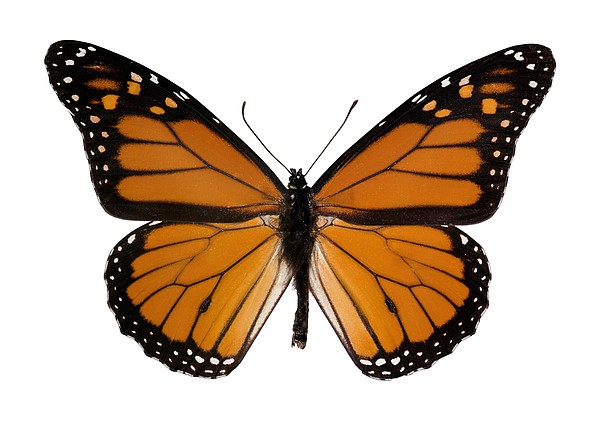 Monarch Butterfly Print by Dr Keith Wheeler