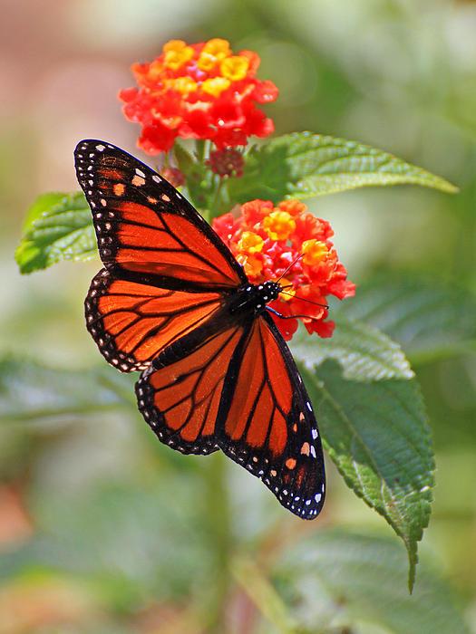 Stephen Dennstedt - Monarch Butterfly