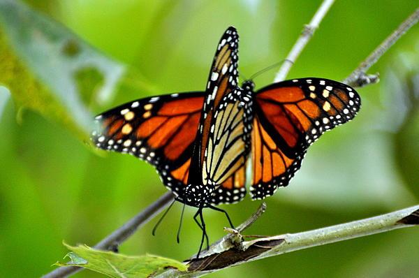 Monarchs Deluxe Print by Marty Koch