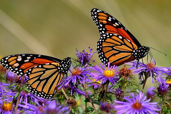 Lisa Jaworski - Monarchs