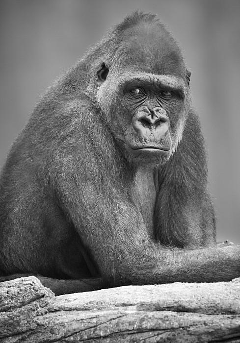 Monkey Print by Darren Greenwood