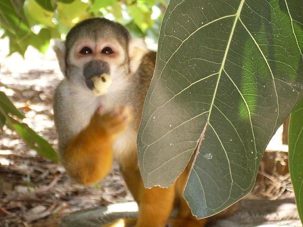 Lisa A Bello - Monkey see