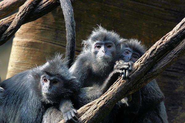 Monkey Trio Print by Karol  Livote