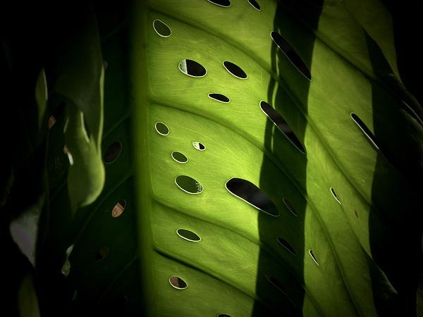Michele Strub - Monstera Deliciosa