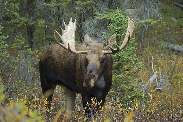 Moose Alces Alces In The Forest Alberta Print by Philippe Widling