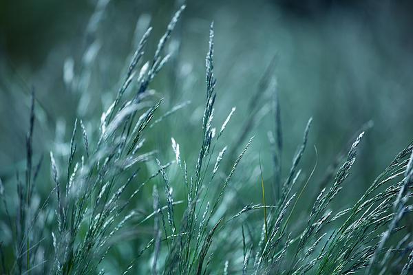 Morning Grass Print by Gabriela Insuratelu