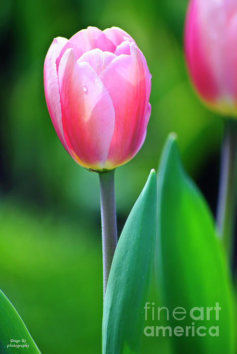Agrofilms Photography - Morning Tulip