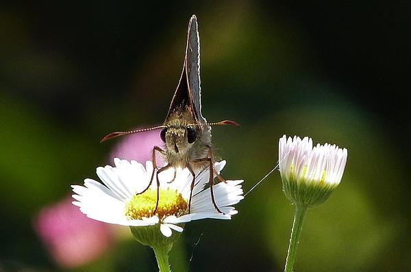 Jo-Anne Dickinson - Moth on Daisy