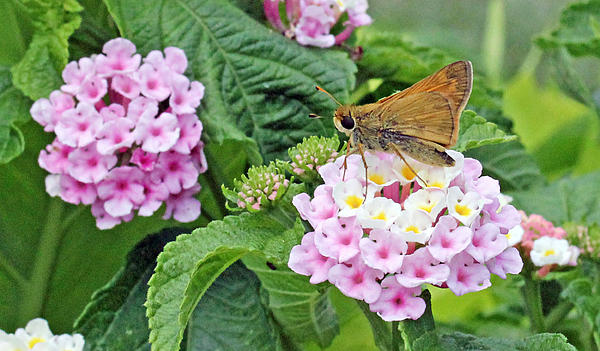 Moth On Lantana Print by Becky Lodes