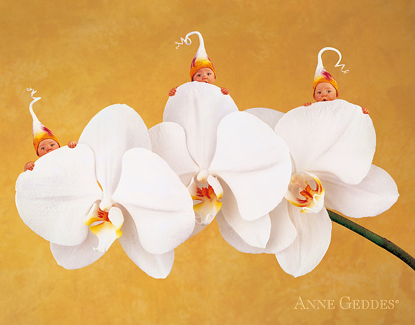 Moth Orchid Triplets Print by Anne Geddes