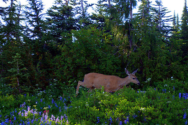 Mount Rainier Deer Print by Lynn Bawden