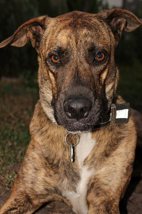 Mountain Cur Dog Print by Karinna Marvill