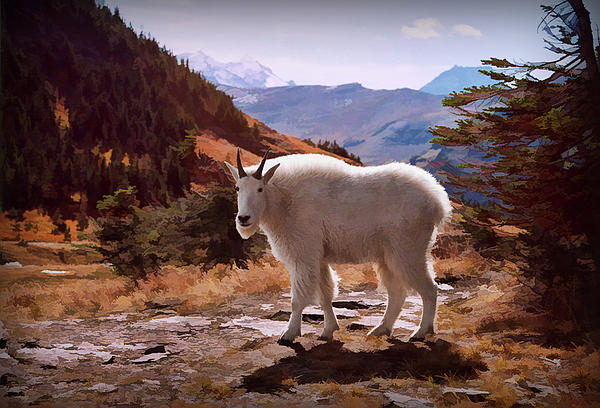 Mountain Goat Print by Patricia Montgomery