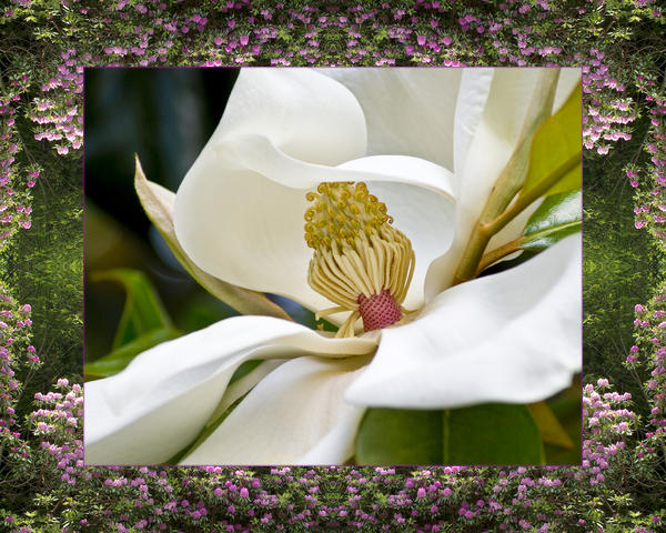 Mountain Magnolia Print by Bell And Todd
