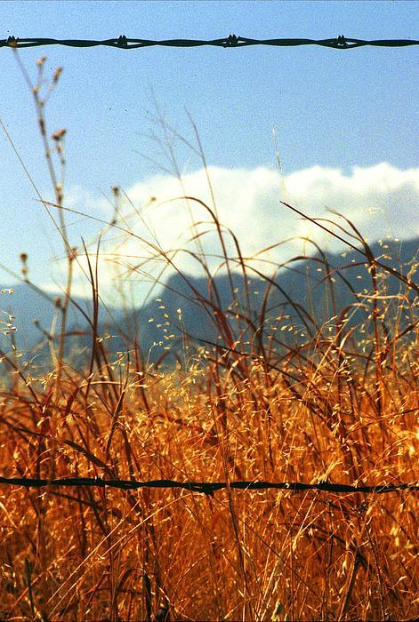 Mountain Wheat With Barbwire Print by Jaye Crist
