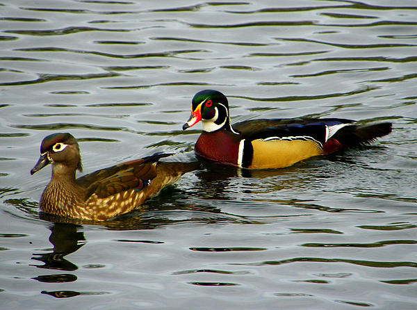Mr And Mrs Wood Duck Print by Judy Wanamaker