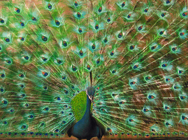 Mr. Peacock Print by Sherry Robinson