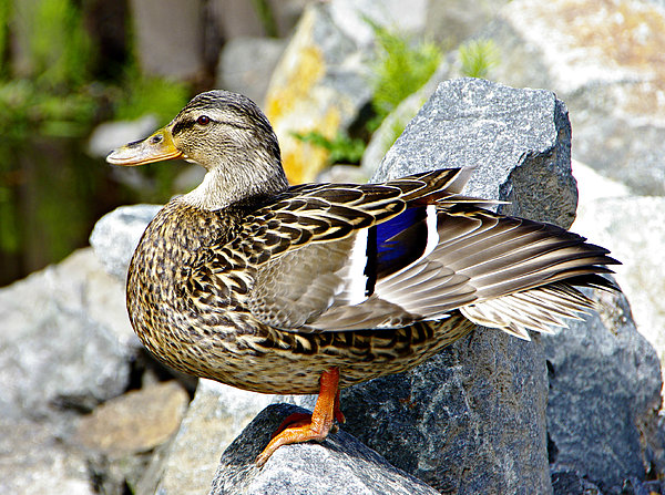 Marilyn Wilson - Mrs. Mallard Duck