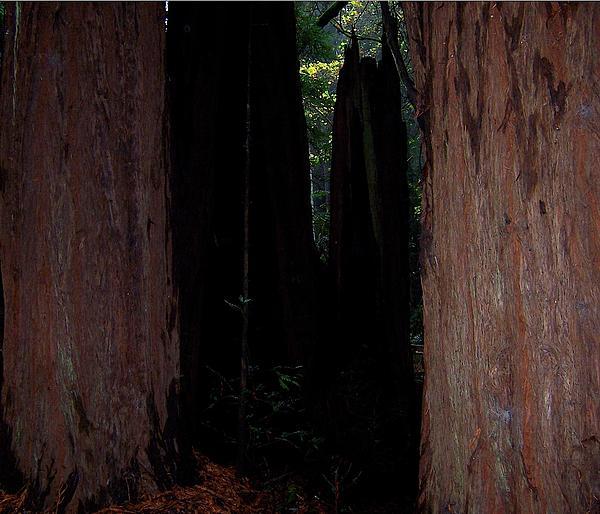 Muir Woods-5 Print by Antoaneta Melnikova- Hillman