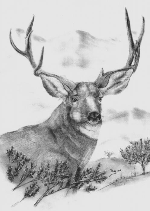 Mule Deer Buck Drawing  - Mule Deer Buck Fine Art Print