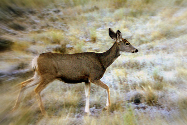 Mule Deer On The Move Print by Marty Koch