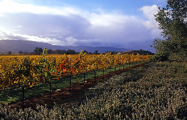 Mumm Napa Vineyard Print by Richard Leon