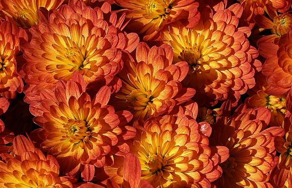 Mums Of A Different Color Print by Bruce Bley