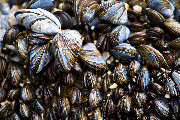 Mussels Print by Justin Albrecht