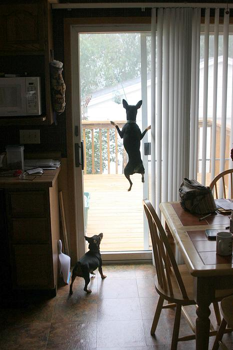 My Dog Can Fly Or Levitating Dog Print by Rick Rauzi