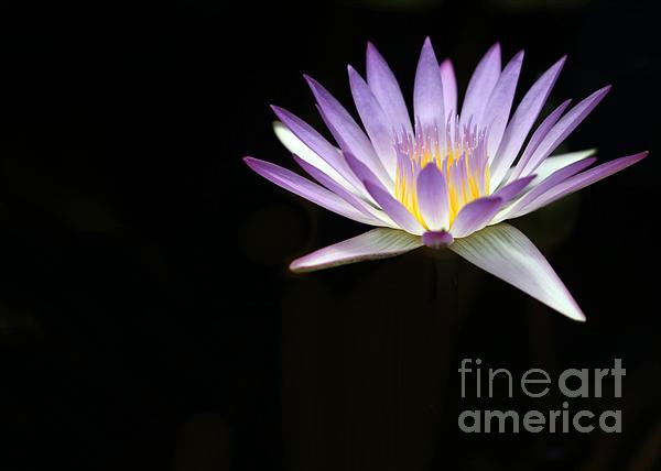 Mysterious Water Lily Print by Sabrina L Ryan
