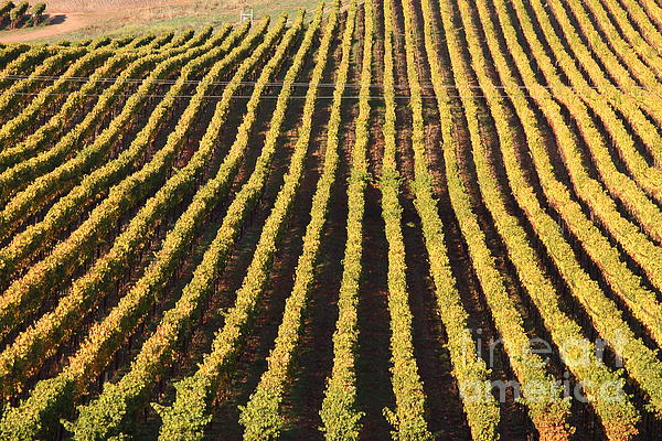Napa Valley Vineyard . 7d9061 Print by Wingsdomain Art and Photography